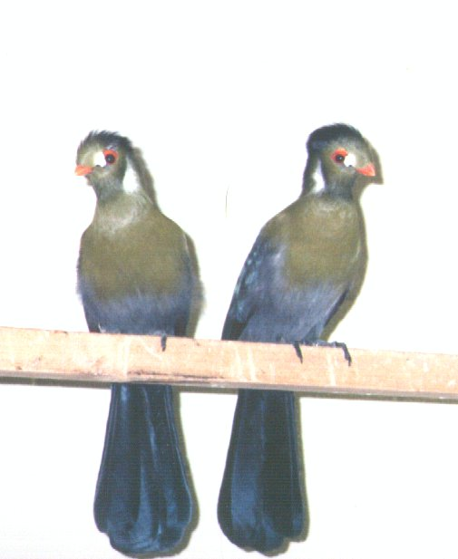 White-cheeked Turaco; Image ONLY