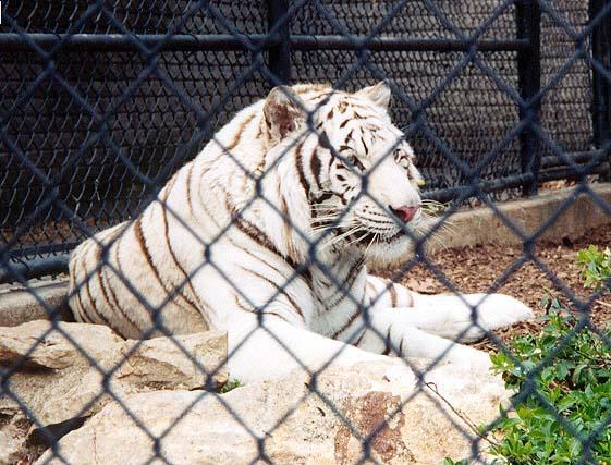 White tiger 4-by Denise McQuillen.jpg