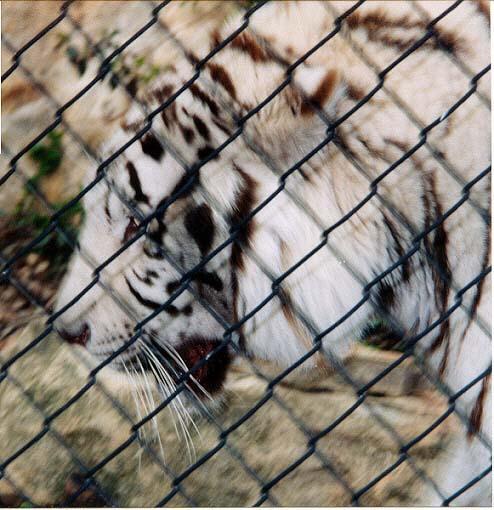 White tiger close 2-by Denise McQuillen.jpg