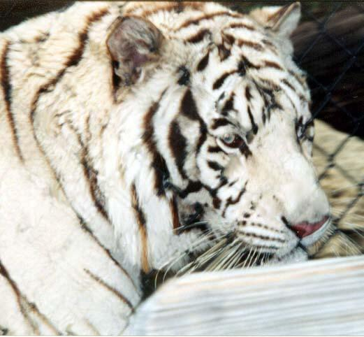 White tiger close fence removed-by Denise McQuillen.jpg