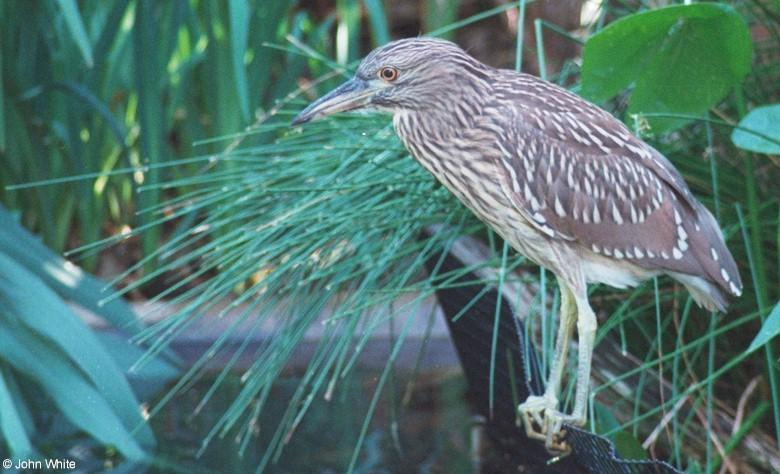 Yellow-Crowned Night Heron (immature) 1; Image ONLY