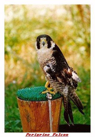 ZOOGG-Peregrine Falcon-from Indianapolis Zoo-by Joe Tansey.jpg