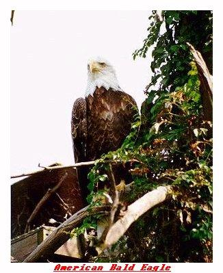 ZOOII-Bald Eagle-from Indianapolis Zoo-by Joe Tansey.jpg