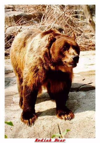 ZOOJJ-Kodiak Bear-from Indianapolis Zoo-by Joe Tansey.jpg