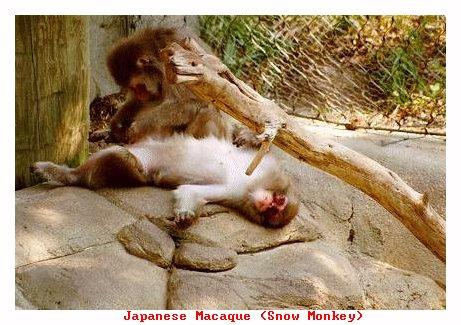 ZOONN-Japanese Macague-from Indianapolis Zoo-by Joe Tansey.jpg