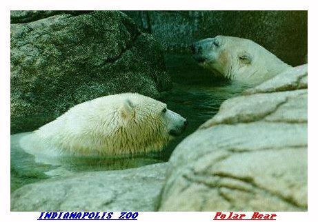 ZOORR-Polar Bear-from Indianapolis Zoo-by Joe Tansey.jpg