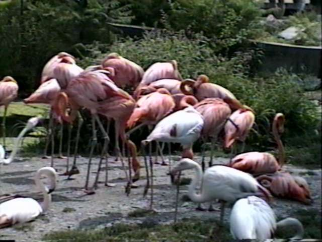 Animal flood! - flamingo.jpg; Image ONLY