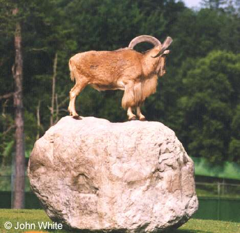 Goat on a Rock; Image ONLY