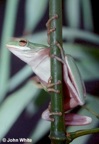Green Treefrog #1- Hyla cinerea; Image ONLY
