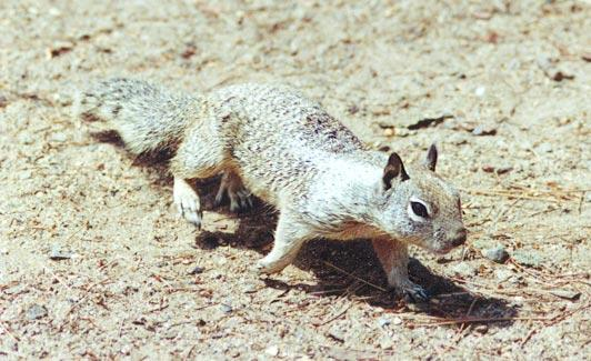 Ground Squirrel 53k jpg; Image ONLY
