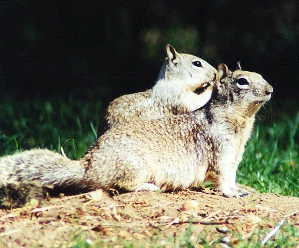 Calif. Ground Squirrel; Image ONLY