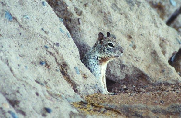 California Ground Squirrel 52k jpg; Image ONLY