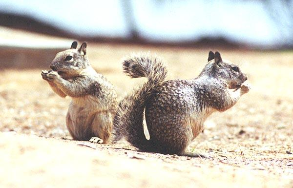ground squirrel 42k jpg; Image ONLY