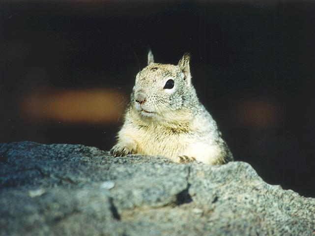 California Ground Squirrel 2; Image ONLY