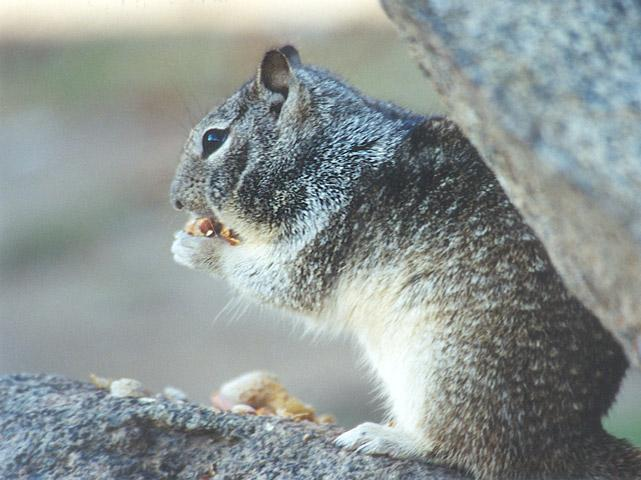 California Ground Squirrel 3; Image ONLY