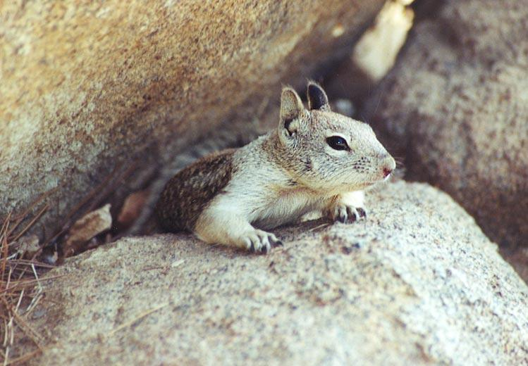 ground squirrel 71k jpg; Image ONLY