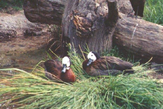 White-faced Whistling Duck; Image ONLY