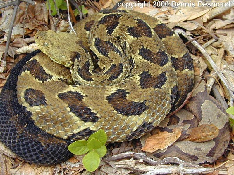 Timber rattlesnake and N Copperhead; DISPLAY FULL IMAGE.