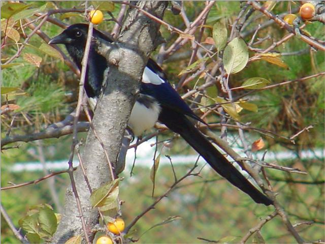 Black-billed Magpie (3/7) -- 까치; Image ONLY