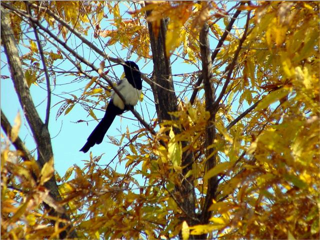 Black-billed Magpie (4/7) -- 까치; Image ONLY