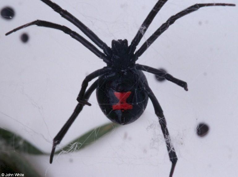 Pin Black-widow-spider-facts-sheet-canadian-geographic ...