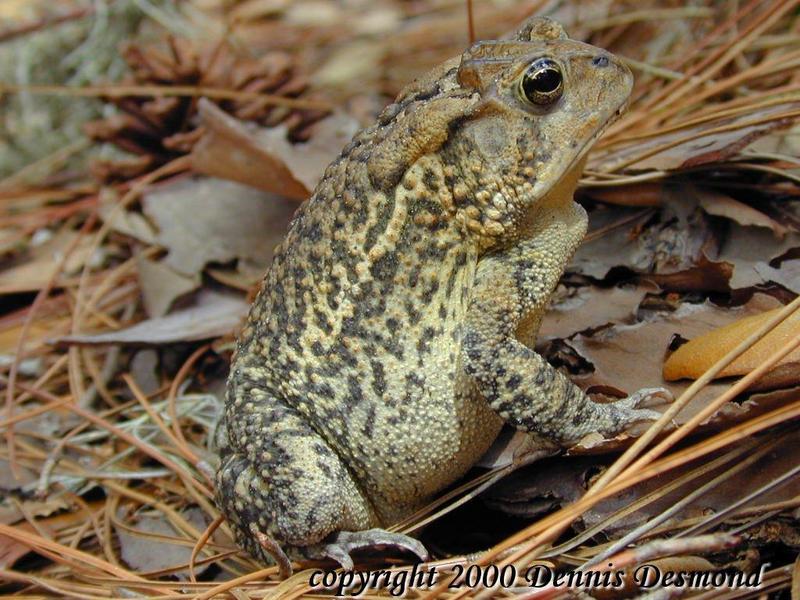 Southern Toad - Normal Phase; DISPLAY FULL IMAGE.