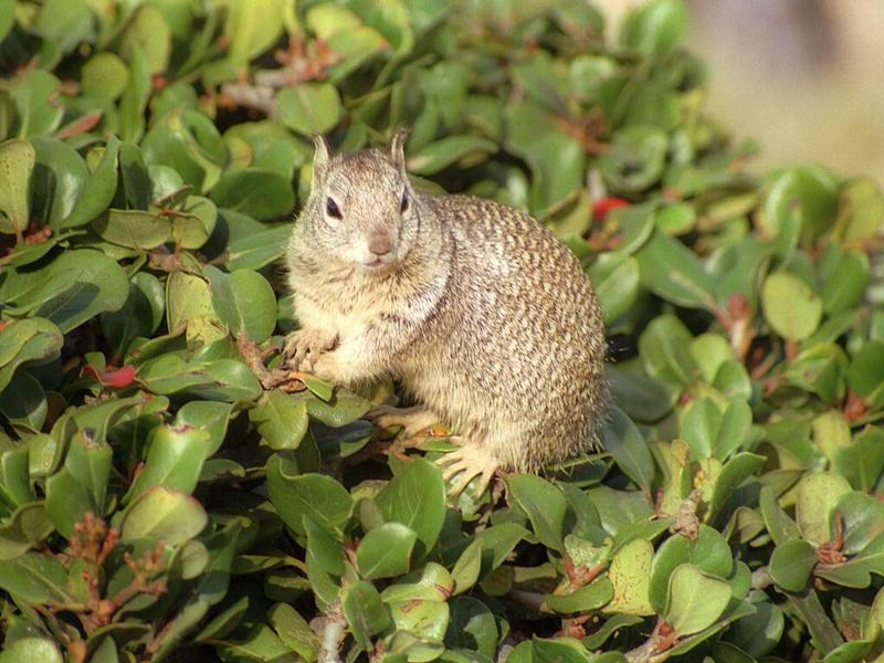 Some ol' scans from California, in between - ground squirrel at La Jolla Beach; DISPLAY FULL IMAGE.