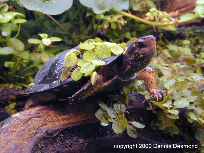spotted turtle; DISPLAY FULL IMAGE.