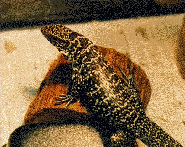 Black and white tegu (Tupinambis teguixin)<!--점박이테구-->; Image ONLY