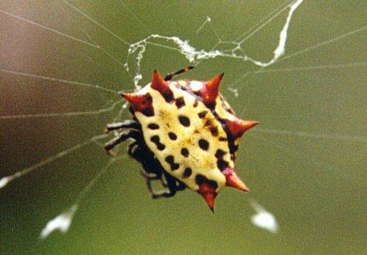 Strange Florida Spider...; Image ONLY