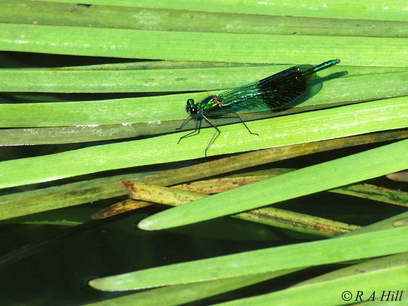 Banded Demoiselle (2nd try); DISPLAY FULL IMAGE.