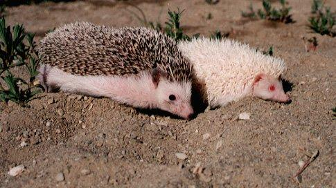 Re: Hedgehogs - Egels.jpg -- African Pygmy Hedgehog and Albino; Image ONLY