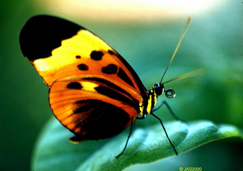 (Butterflies) File 1 of 4 - EueidesIsabella2.jpg - Isabella's Longwing (Eueides isabella); DISPLAY FULL IMAGE.