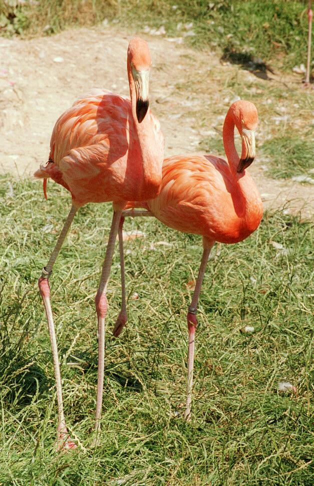 Technicolor birds - Rosy flamingoes from Frankfurt Zoo; Image ONLY