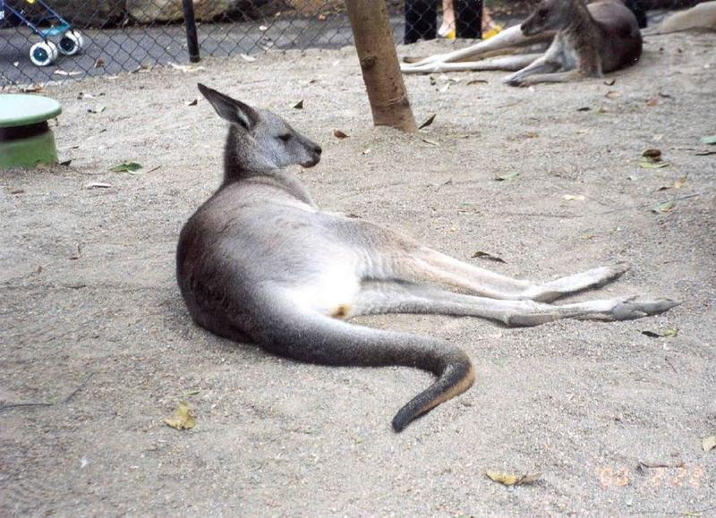Gray Kangaroo (2 images); DISPLAY FULL IMAGE.