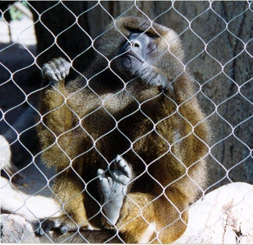 gibbon (I think) at fence; Image ONLY