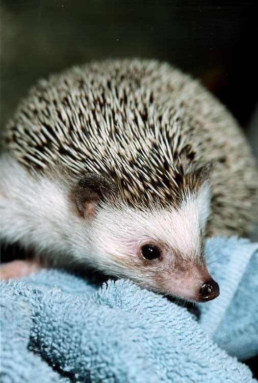 African Pygmy Hedgehog (Four-toed Hedgehog); Image ONLY