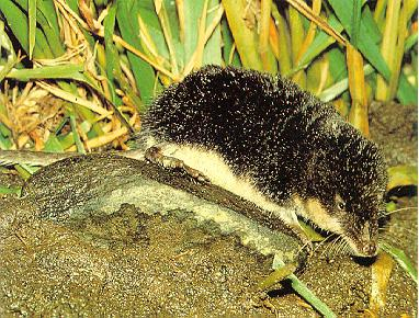 Korean Mammal - European water shrew - 갯첨서; Image ONLY