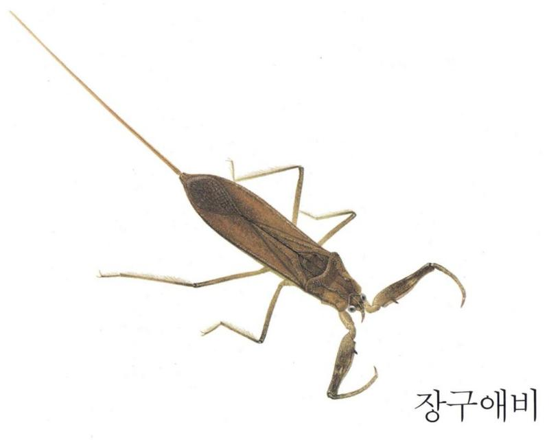 장구애비 Laccotrephes japonensis (Japanese Water Scorpion); DISPLAY FULL IMAGE.