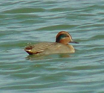 Common Teal from Korea 1; Image ONLY