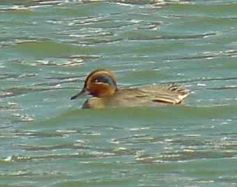 Common Teal from Korea 2; Image ONLY