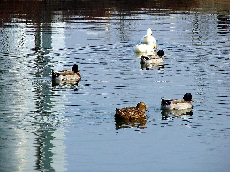 Mallard Ducks and Domestic Ducks 04; Image ONLY