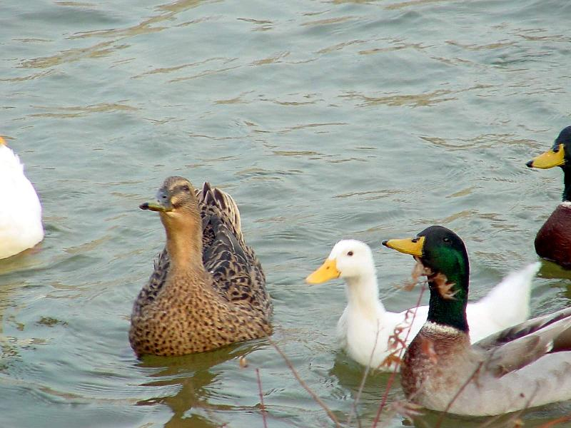 Mallard Ducks and Domestic Ducks 11; Image ONLY