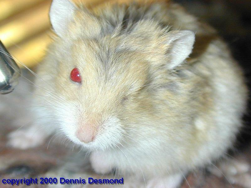Patch, Dzungarian Hamster; DISPLAY FULL IMAGE.
