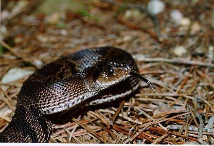 Black Pine Snake Juvenile; Image ONLY