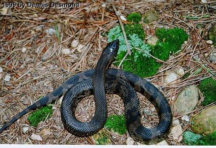 Re: Black pine snake - defensive position; Image ONLY