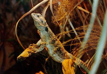 Bearded Dragon; Image ONLY