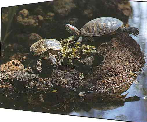 Red-Scheek-Turtles; Image ONLY