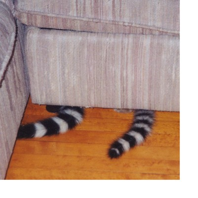Re: ringtail cat pictures; Image ONLY