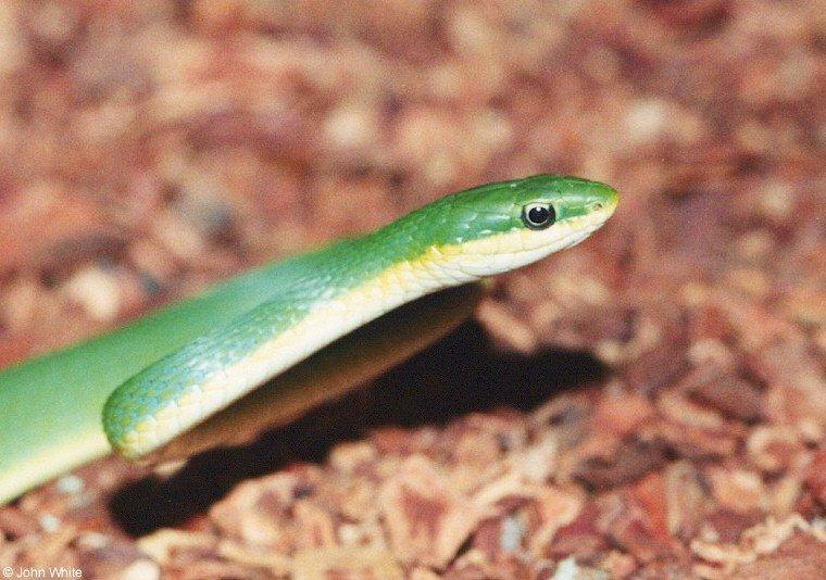 Rough Green Snake; Image ONLY